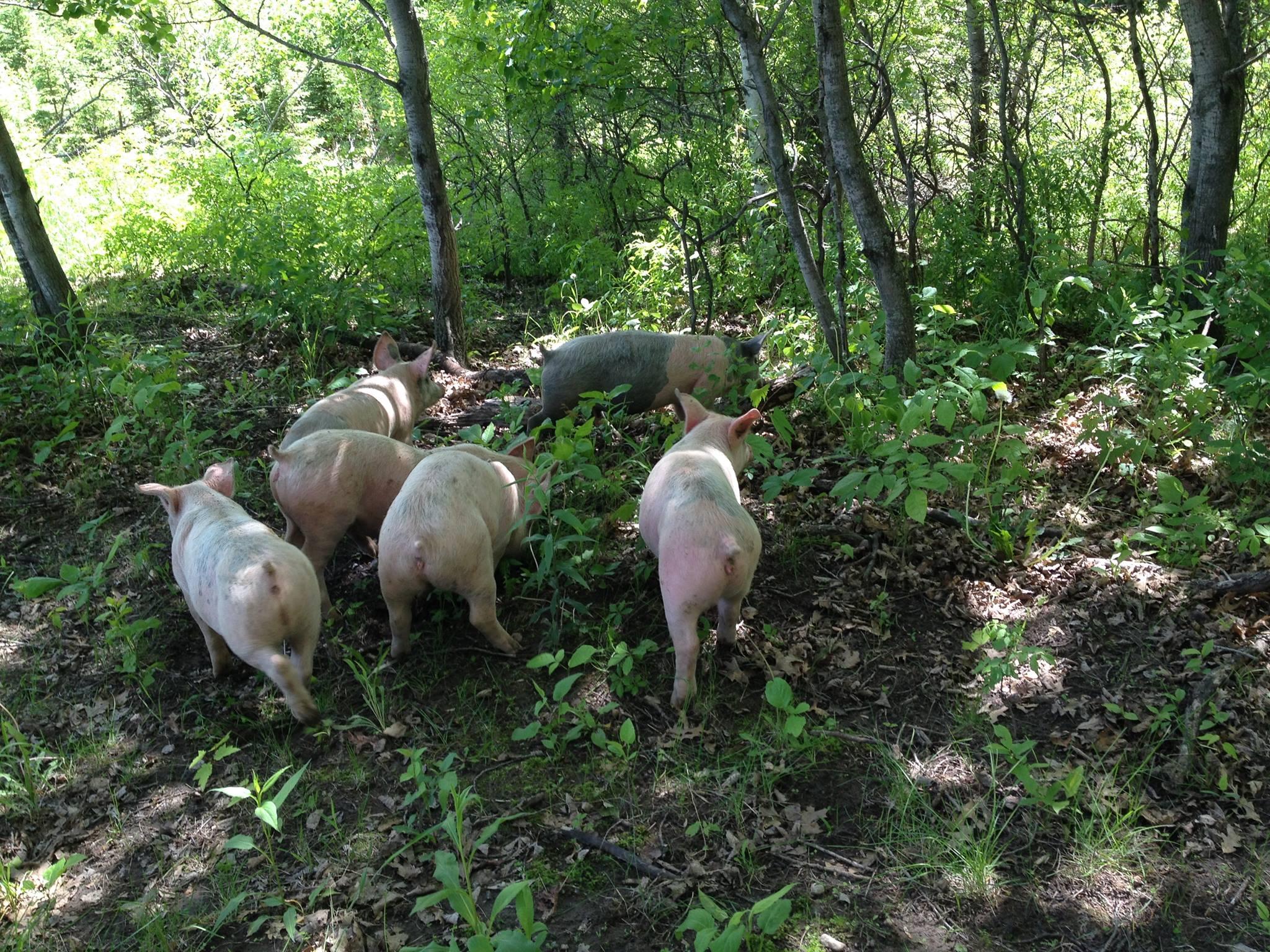 pigs_woods