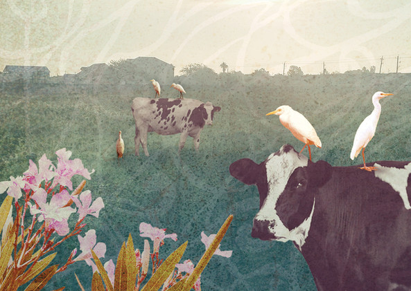 2020_8_Cattle-Egret copy.jpg