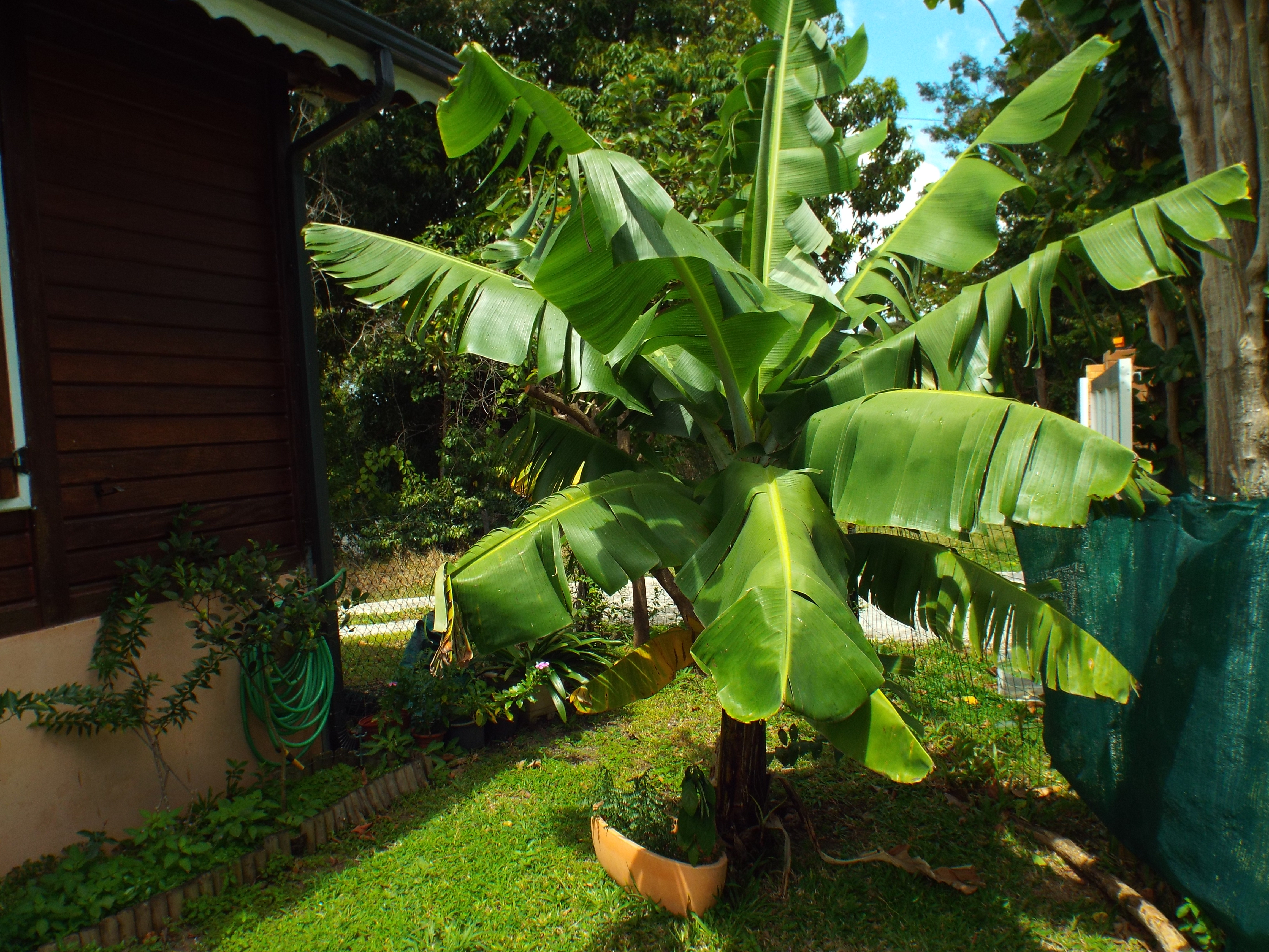 Bananier du jardin
