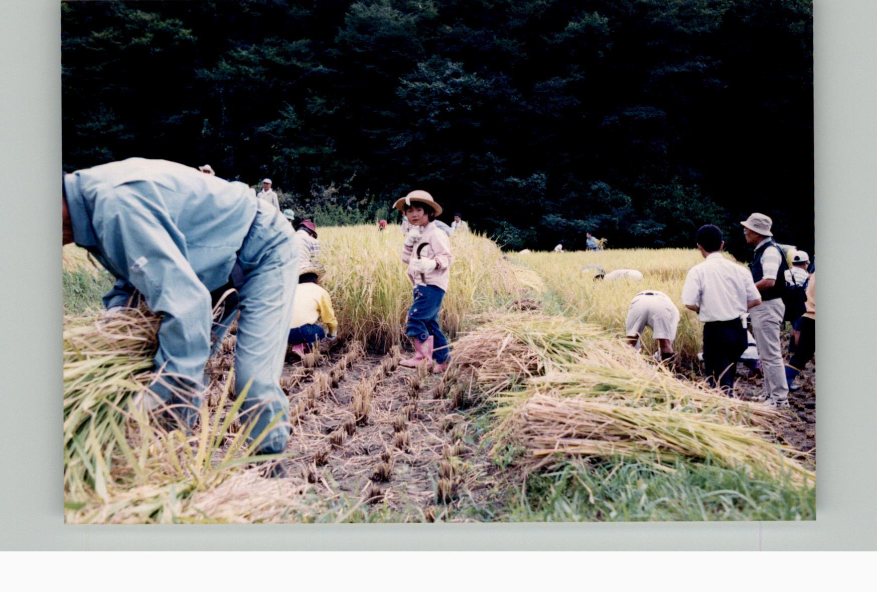 棚田体験ツアー稲刈り2003d