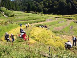 美鈴小稲刈り20190909b