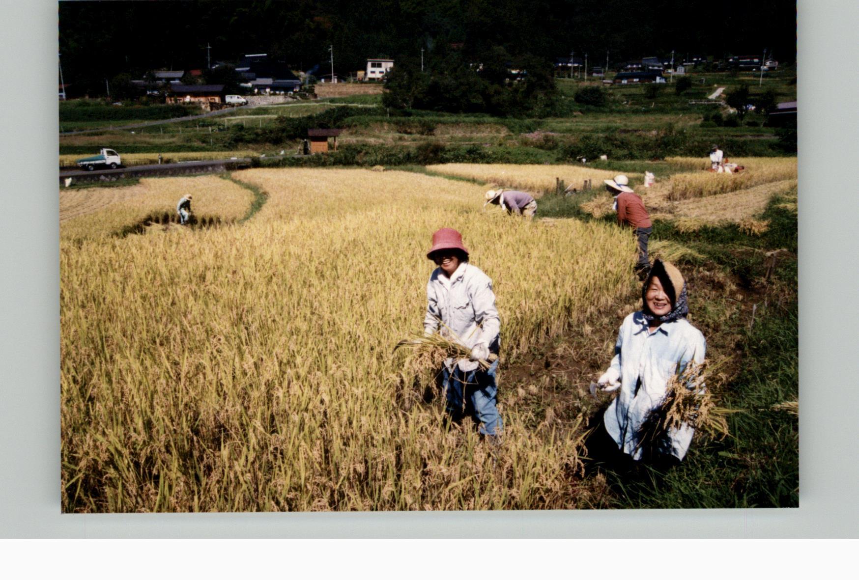 棚田オーナー稲刈り20010923f
