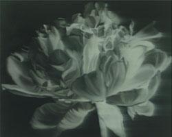 Peony Black & White Invert