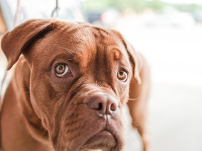 Canine Gastric Dilation Volvulus