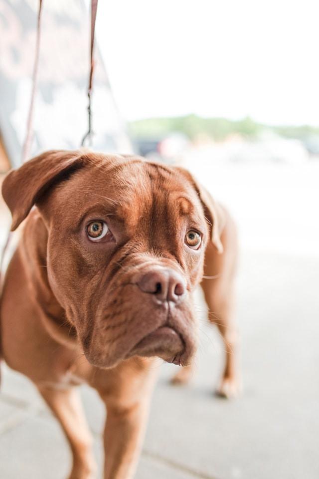 sad looking boxer