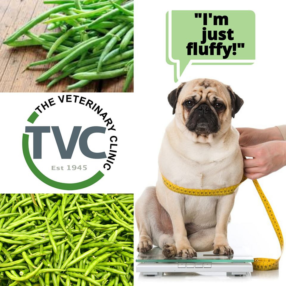collage of overweight pug on scale with green beans in background