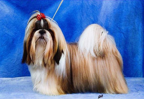 chiens-Shih-Tzu-0fb95152-6225-f4c4-adad-