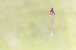 Orchis pourpre