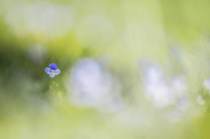 Véronique petit chêne