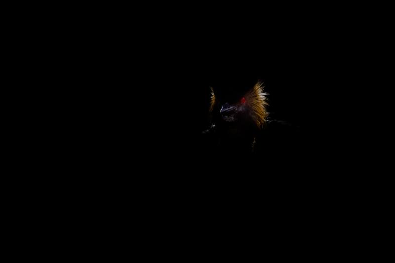 Grèbe à cou noir