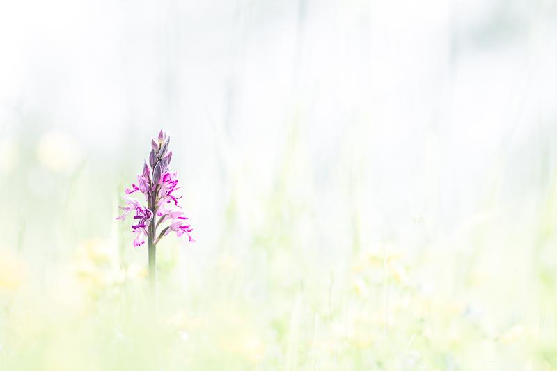 Orchidée Militaris