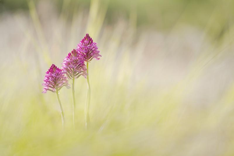 Orchis pyramidal