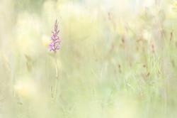Orchidée moucheron