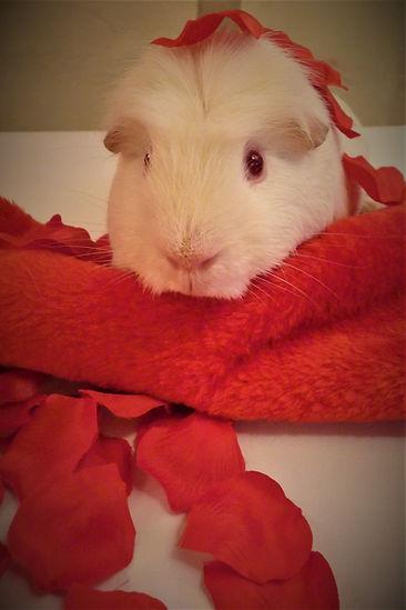 Golden Ball guinea pig
