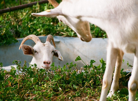 Learn about raising goats