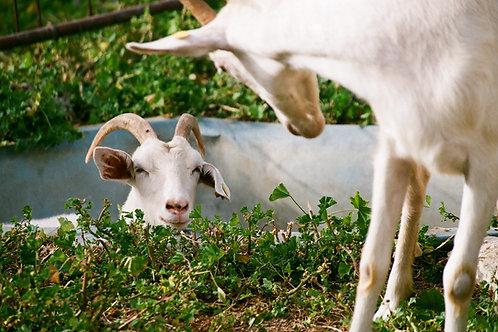 Goat Faecal Egg Count