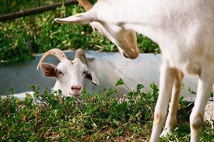 Chèvres