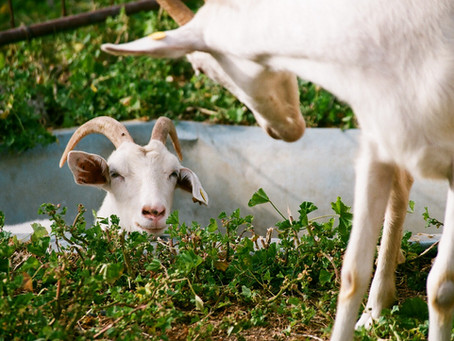 Goats Milk Soap Under Development