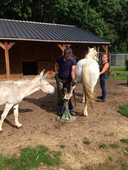 bekappen van paard met ezel