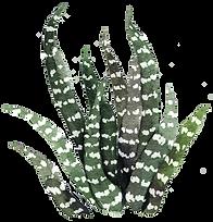succulent 8.png