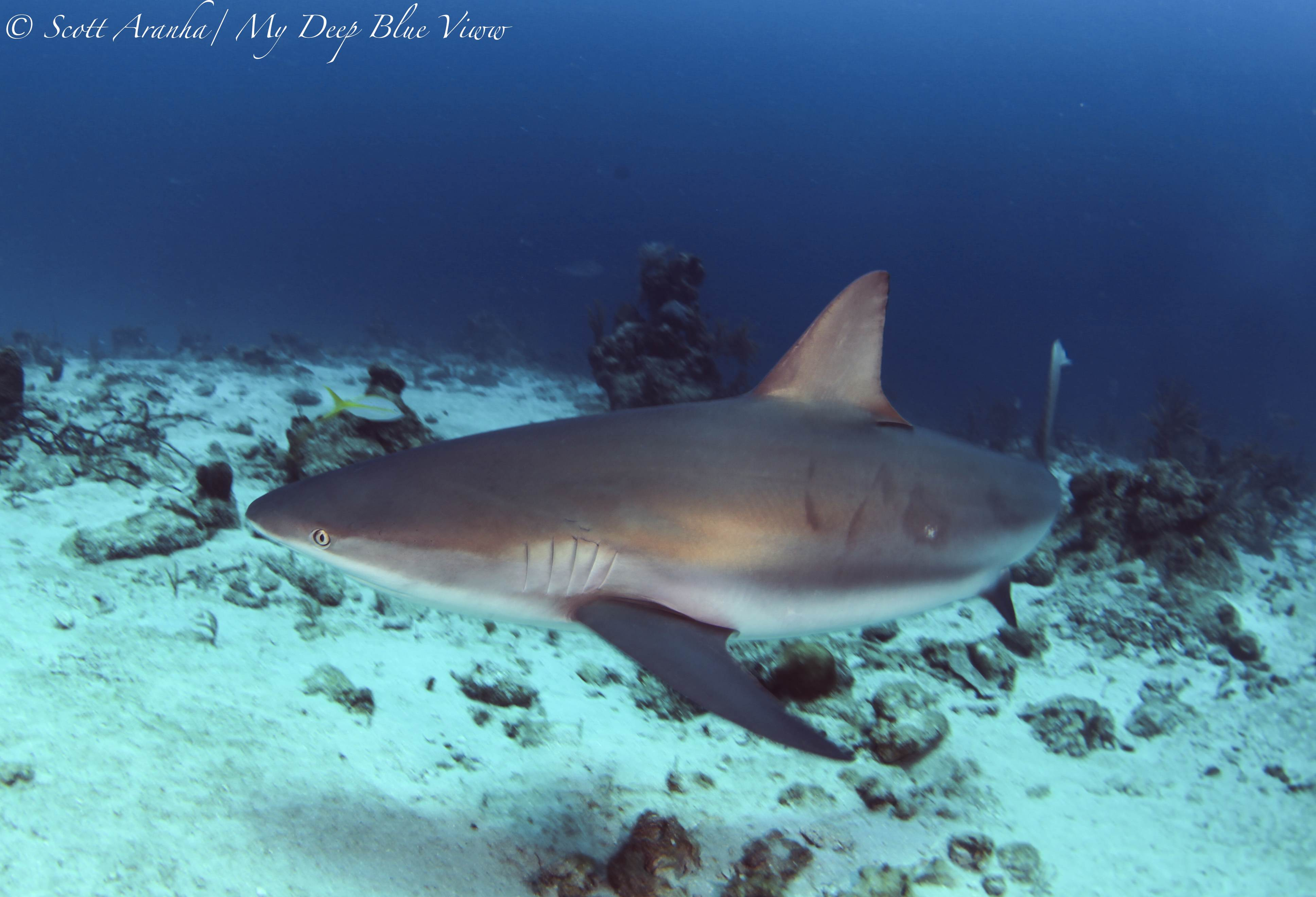 Shark100.JPG