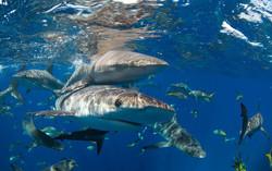 Shark059.JPG
