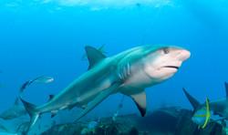 Shark074.JPG