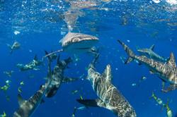 Shark057.JPG