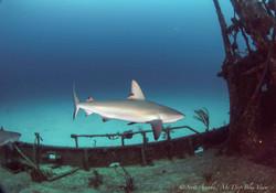 Shark099.JPG