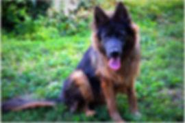 Blue Long Coat German Shepherd