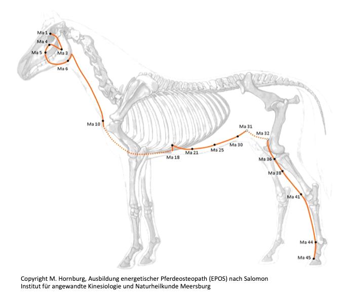 Magenmeridian Pferd, Energetische Pferdeosteopathie nach Salomon (EPOS)