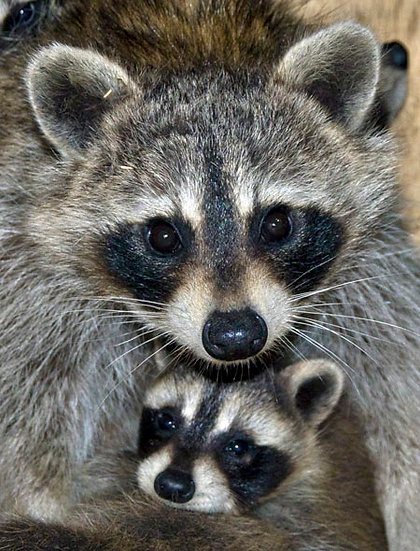 Raccoon Mom and baby