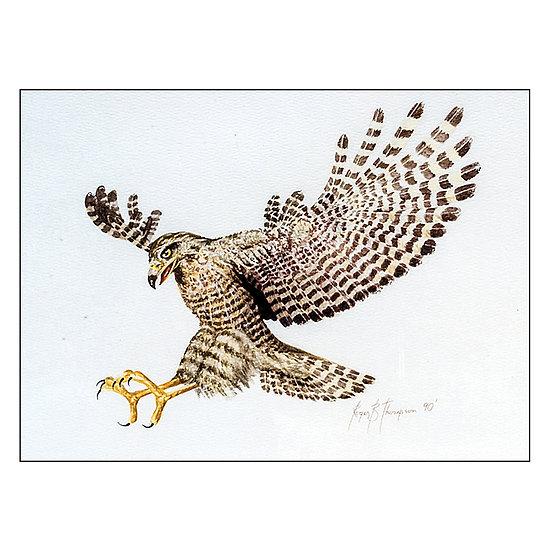 Hawk (91:1)