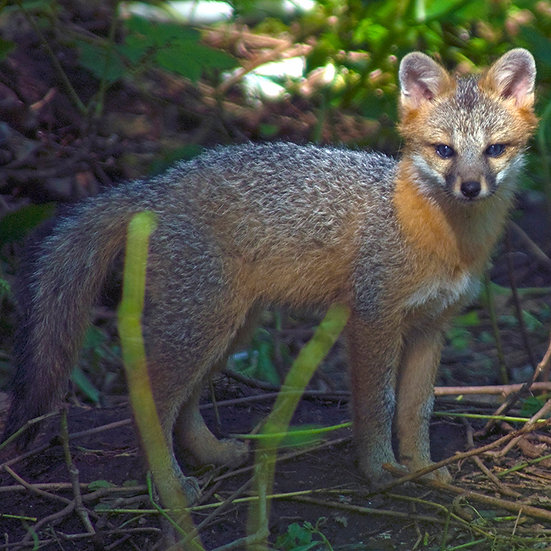 Standing Gray Fox Kit