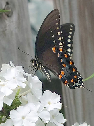 spicebush swallowtail butterfly.jpg