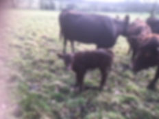Red Poll calf in a field at Stanstead Bury Farm, Hertfordshire