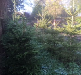 Sustainable Christmas Trees growing in The Walled Garden - to rent and return after Xmas