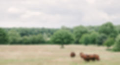 Our herd of Red Poll cattle in a field at Stanstead Bury Farm, Hertfordshire