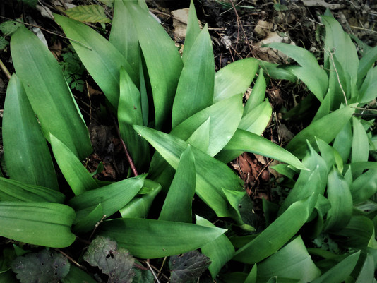 AIL DES OURS | Allium ursinum | + Recette de l'oursinade !