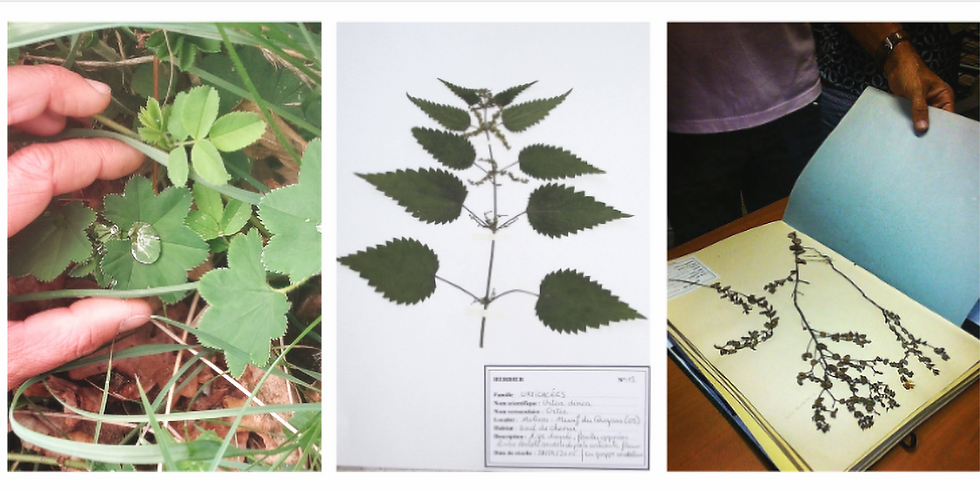 ATELIER Herborisation - Faire son herbier de plantes comestibles et médicinales.