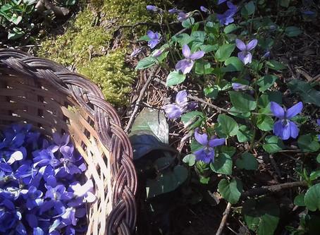 Cueillette du jour : la violette odorante.