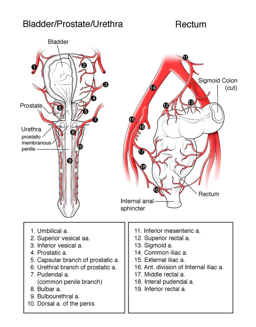 Male Pelvic Arteries 2/2