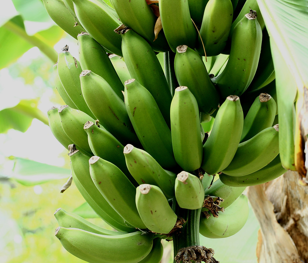 Banana as a sustainable material source