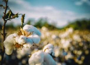 Organic Cotton: How Sustainable is it?