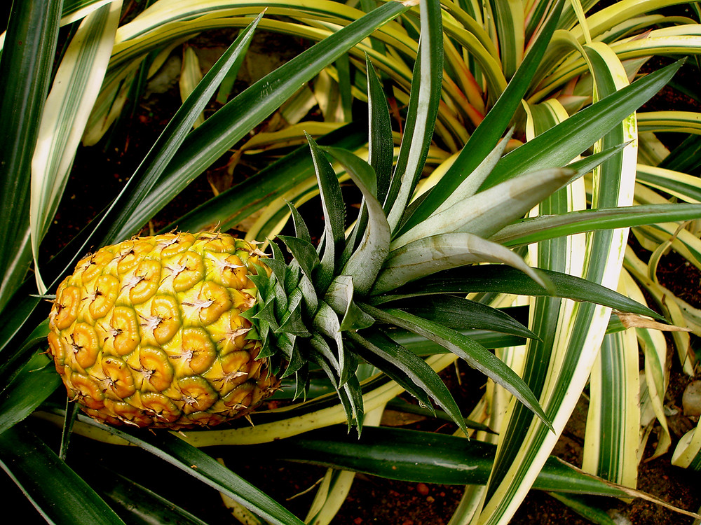 Pineapple as a sustainable material source