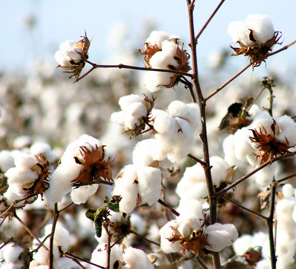 Organic Cotton sustainable material source