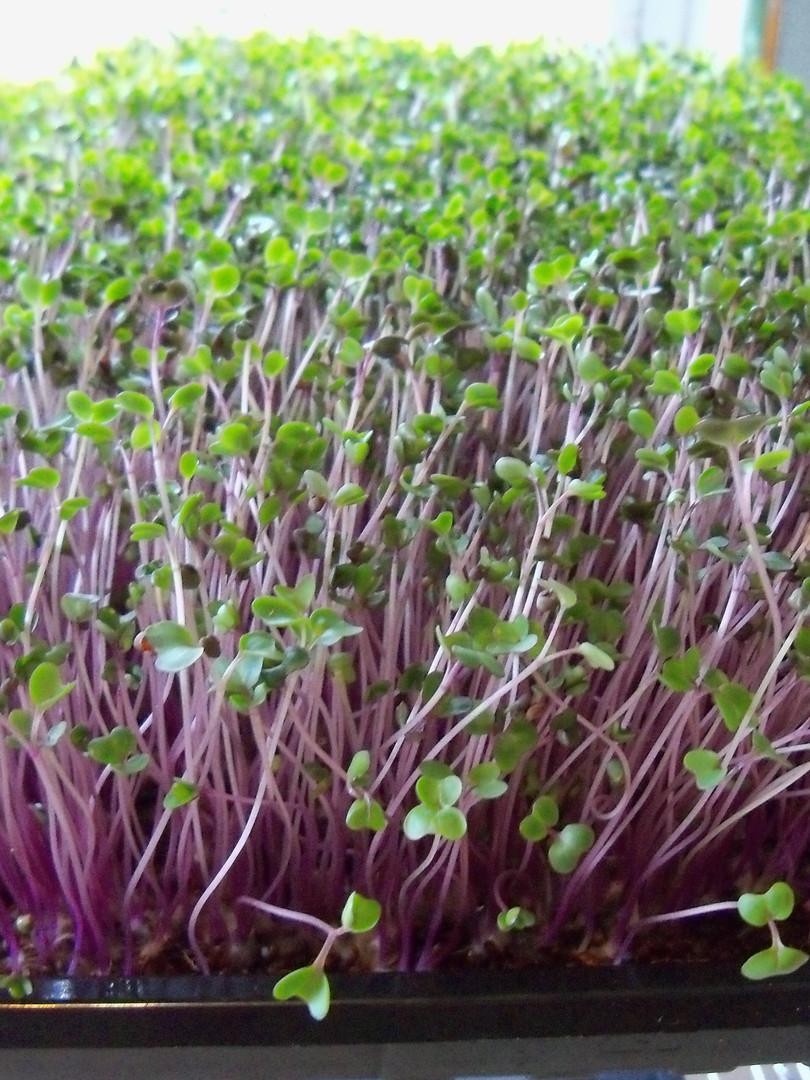 Microgreens rack 007.JPG