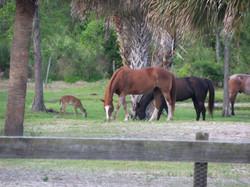 deer and horses 4-6-15 001.JPG