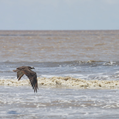 A migrating Osprey wintering in South America. The only time I have ever seen one - and a very brief encounter too!