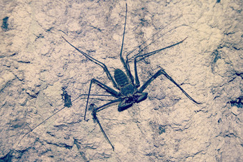 A little whip scorpion I found in a cave in the Amazon. These guys are neither spiders nor scorpions but in a group all on their own. When hunting in the dark they take advantage of their long set of front legs that have sophisticated sensory properties to feel out prey, tap it on the back and scare it straight into their jaws.